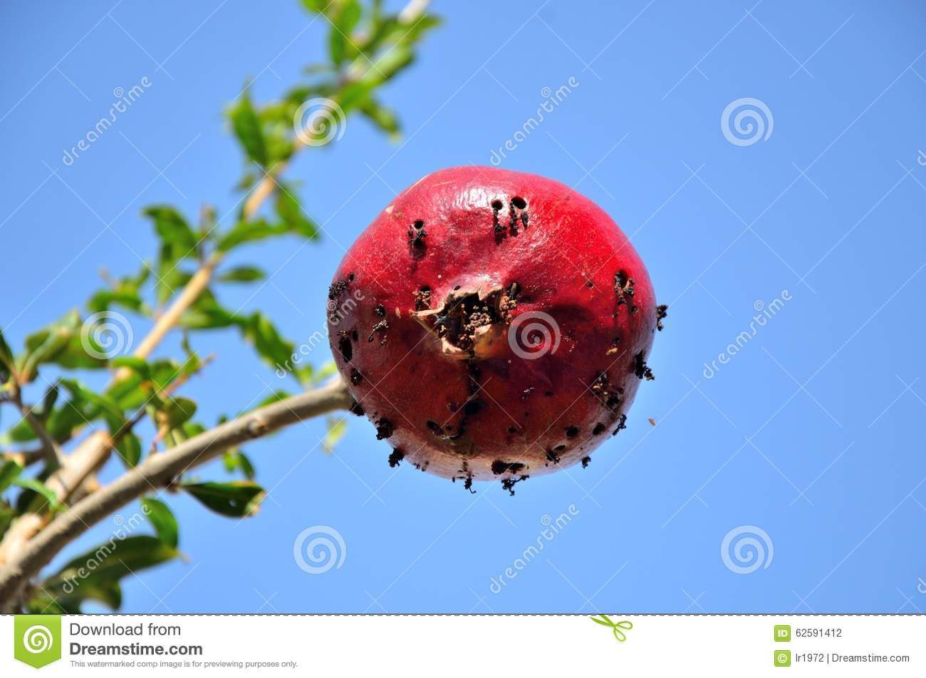 Pomegranate Infected By Mediterranean Fruit Fly Stock Photo.