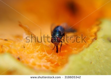 Common House Fly Eating Sweet Fruit Stock Photo 307627196.