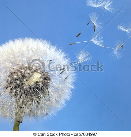 Picture of dandelion blowball and flying seeds.