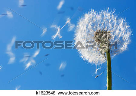 Pictures of Dandelion Flying Seeds k1623548.
