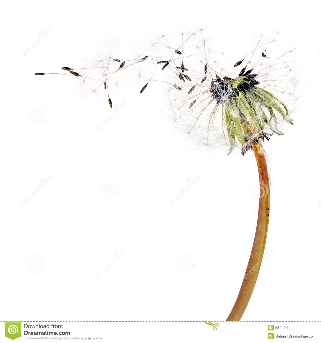 Flying Dandelion Seeds Stock Image.