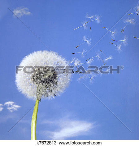 Stock Photo of dandelion blowball and flying seeds k7672813.