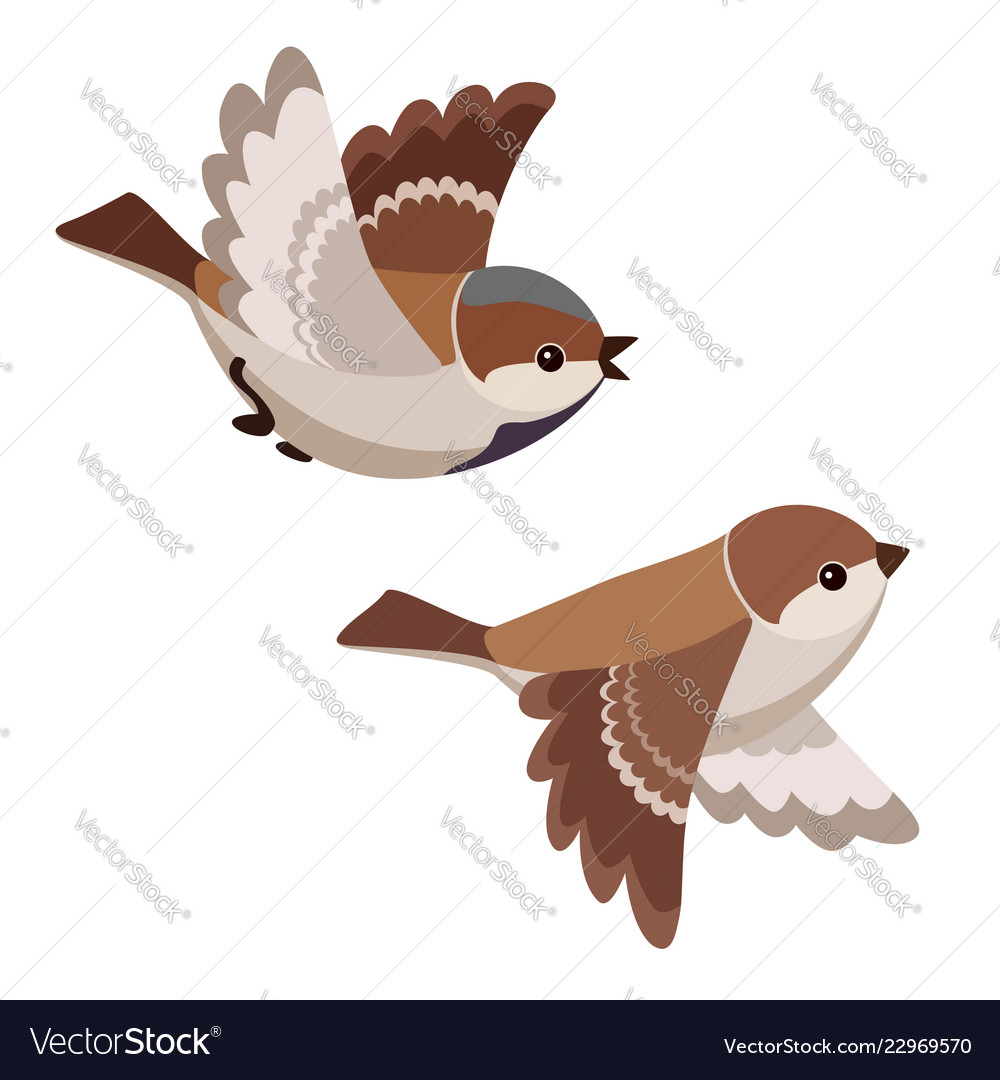 Two flying house sparrows isolated.