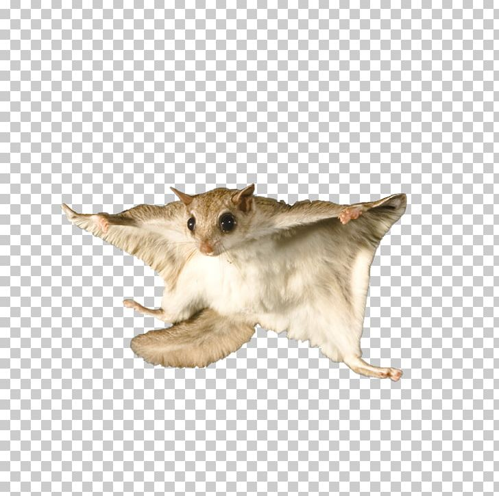 Flying Squirrel Bat Raccoon Rodent PNG, Clipart, Animals, Carnivoran.