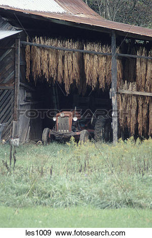 Stock Photograph of Tobacco plants curing in a barn while.