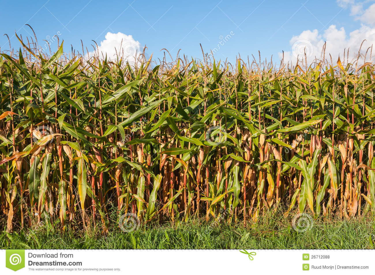On The Edge Of A Field With Fodder Maize Royalty Free Stock Photos.