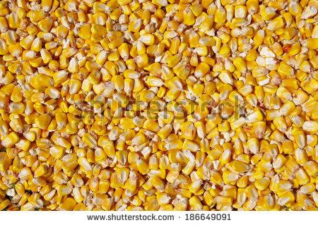 "fodder_maize"" Stock Photos, Royalty."