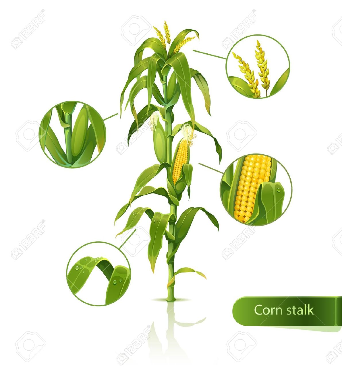 Encyclopedic Illustration Of Corn Stalk. Royalty Free Cliparts.