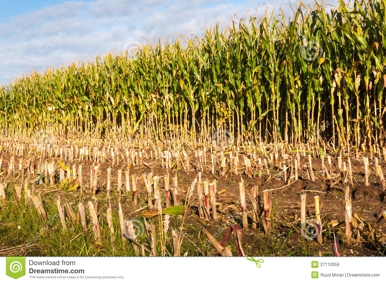Partially Harvested Fodder Maize From Close Stock Photo.