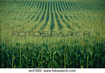 Stock Image of Field of mature fodder corn crop, Quebec, Canada.
