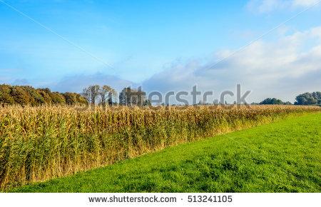 Fodder Maize Stock Photos, Royalty.