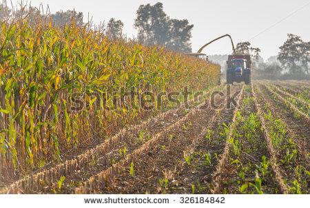 Maize Growing Stock Photos, Royalty.