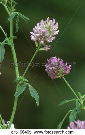 Stock Image of lucerne, medicago sativa ssp sativa, fodder crop.