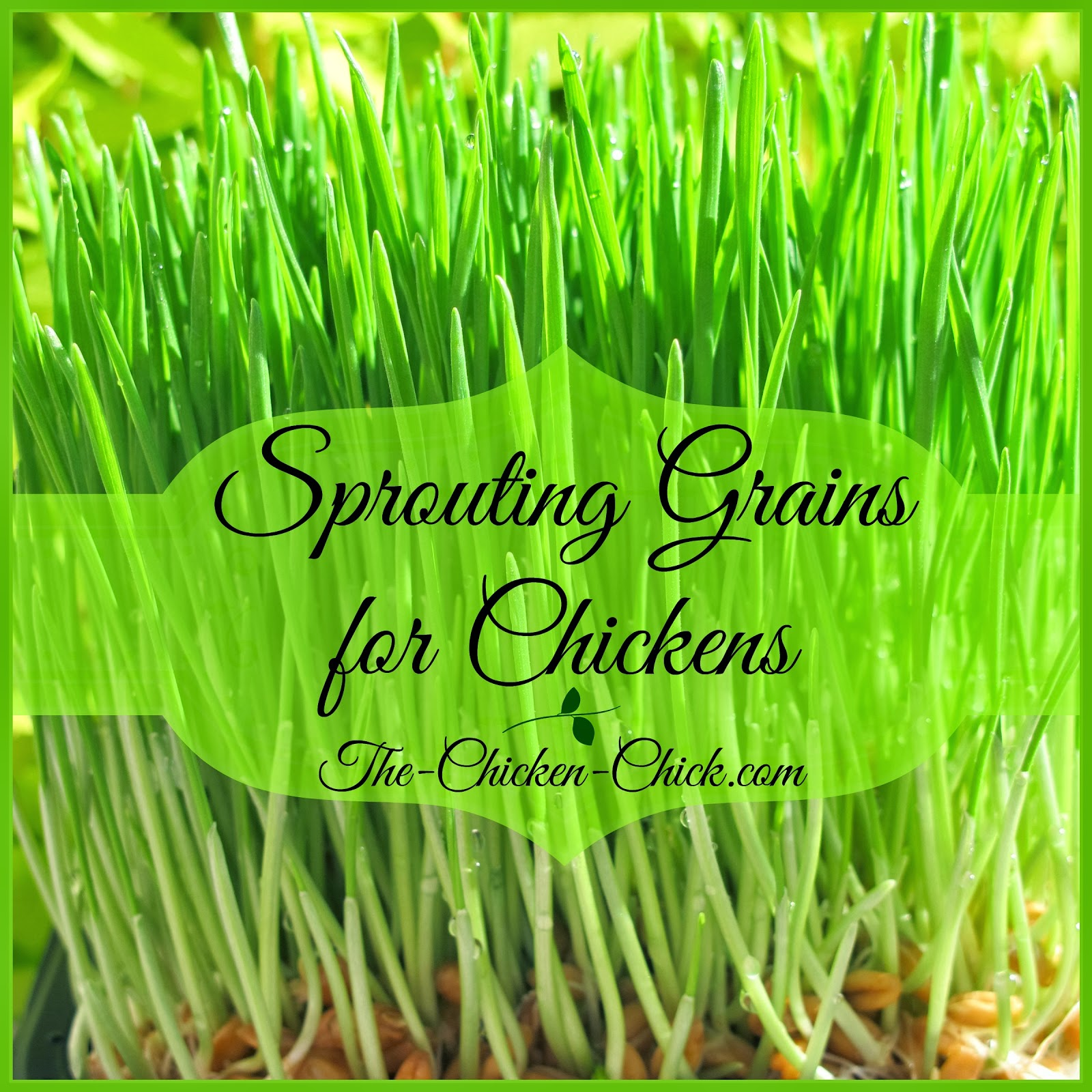 1000+ images about Sprouts for Livestock & Chicken & Turkey.