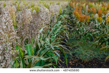 Fodder Plant Stock Photos, Royalty.