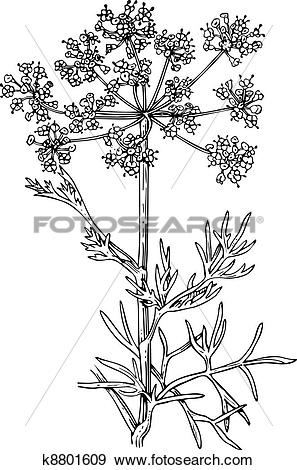 Clip Art of Plant foeniculum (Flowering fennel) k8801609.