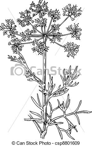 EPS Vectors of Plant foeniculum (Flowering fennel) isolated on.