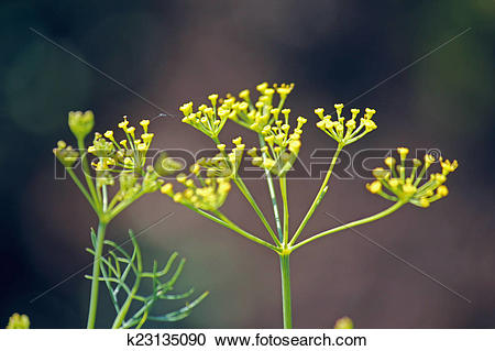 Stock Photography of Fennel, Sweet fennel, Florence fennel.