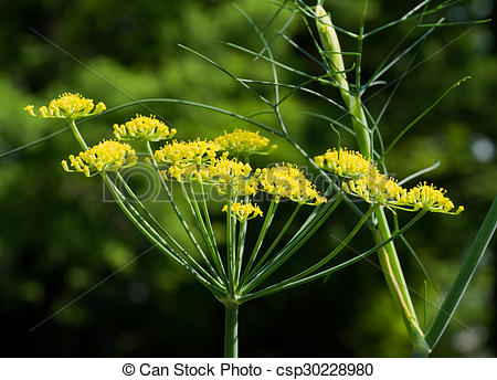 Pictures of Sweet funnel, Foeniculum vulgare var. dulce.
