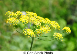 Stock Photography of Fennel (Foeniculum vulgare) csp20904803.