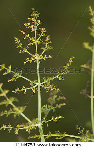 Stock Photo of Fennel (foeniculum vulgare) k11144753.