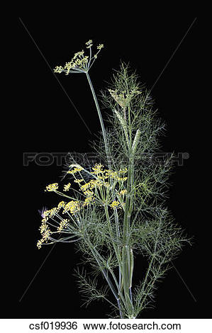 Stock Images of Fennel blossoms (Foeniculum vulgare) csf019936.