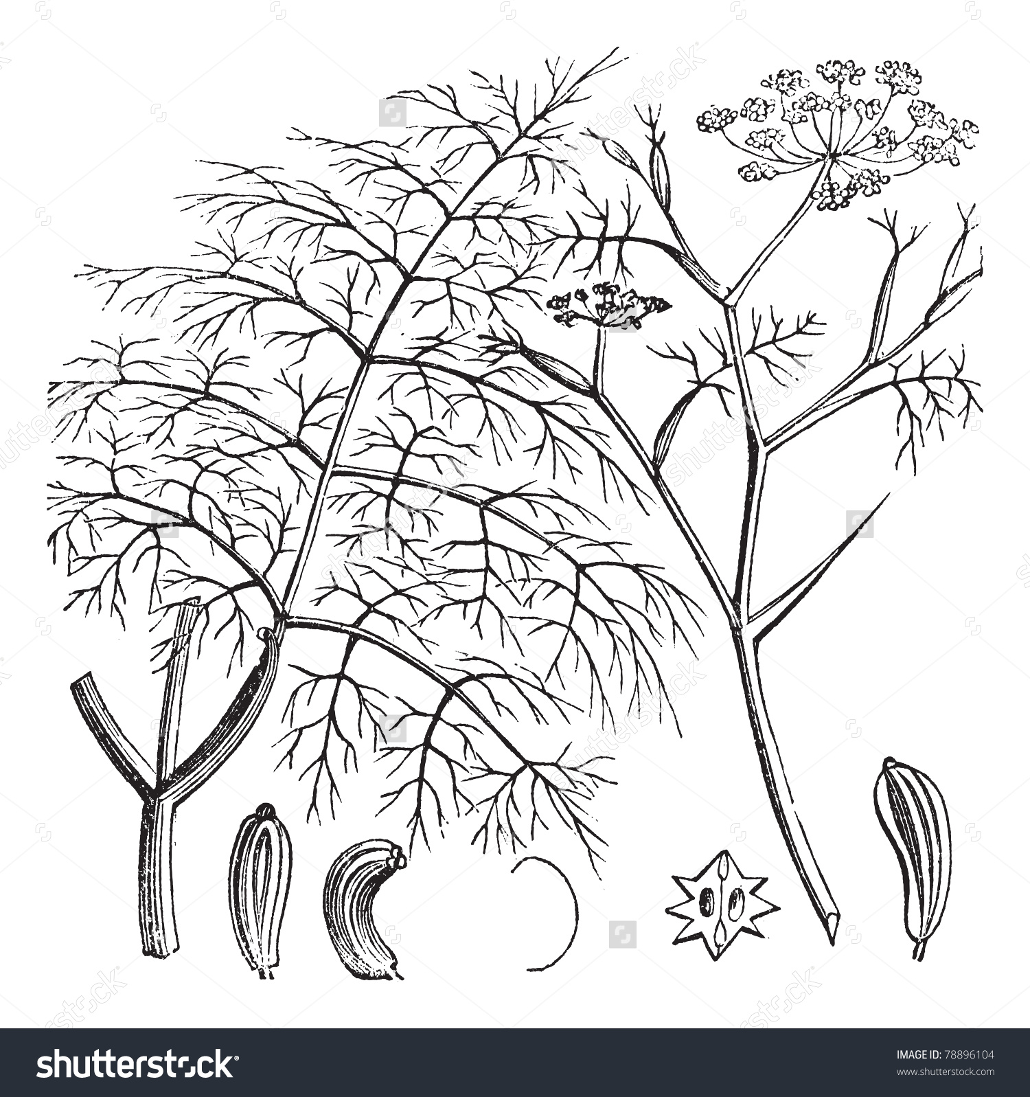 Common Fennel Foeniculum Vulgare Vintage Engraving Stock Vector.