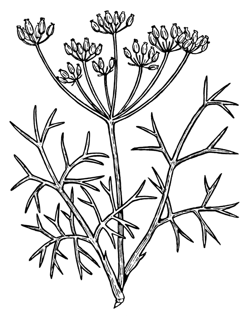 File:Fennel (PSF).png.
