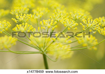 Stock Photograph of Fennel blossom (Foeniculum vulgare), close.