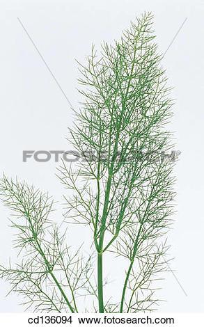 Stock Photo of Fennel (Foeniculum vulgare) cd136094.