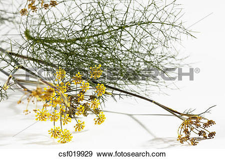 Stock Photograph of Sweet fennel blossoms (Foeniculum vulgare var.