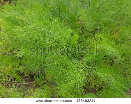 Foeniculum Stock Photos, Royalty.