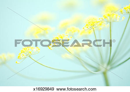Stock Photograph of Fennel blossom (Foeniculum vulgare), close.