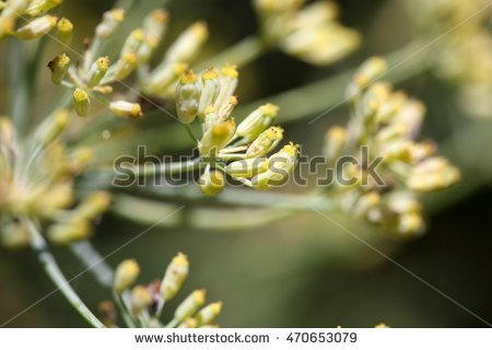 Foeniculum Vulgare Stock Photos, Royalty.
