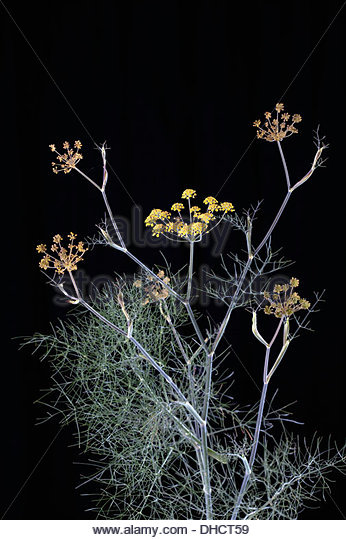 Fennel Blossoms Foeniculum Vulgare Stock Photos & Fennel Blossoms.