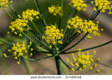 "foeniculum Vulgare"" Stock Photos, Royalty."