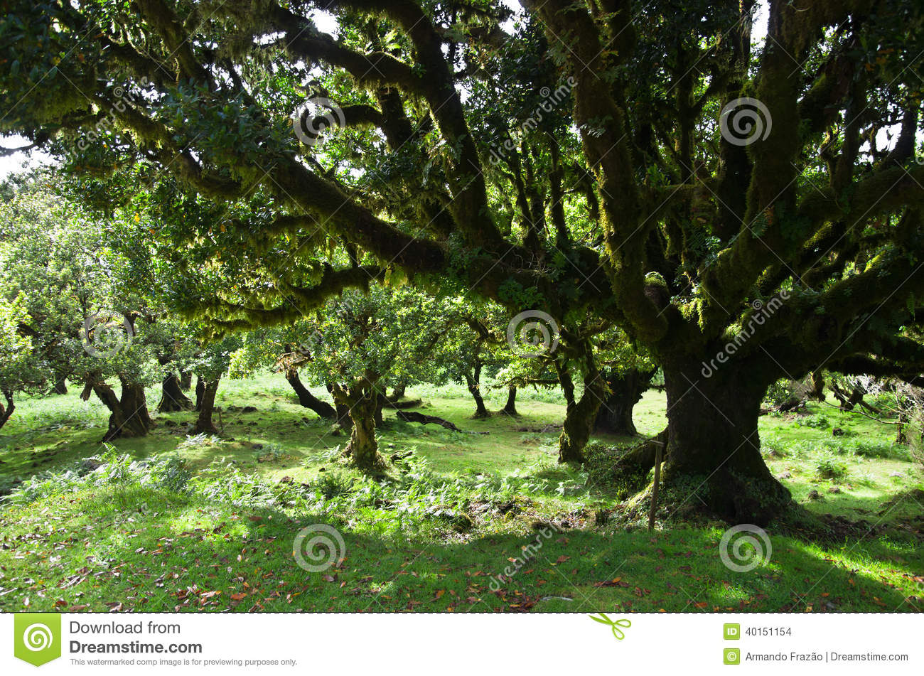 Til Trees Of 500 Years Old, Madeira Stock Photo.