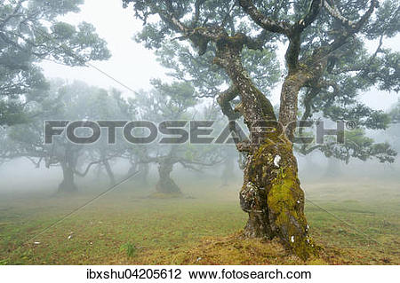 Stock Photo of Old laurel forest or Laurissilva Forest, stinkwood.