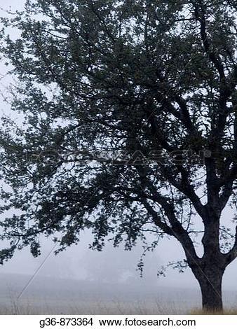 Stock Photo of Oak tree in fog in Paso Robles, California, United.