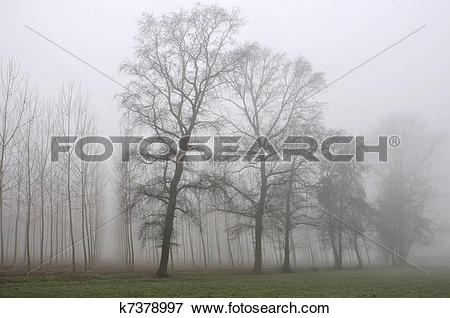 Picture of tree line out of fog, lombardy k7378997.