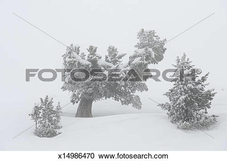 Stock Photography of Swiss pine on cold foggy day x14986470.