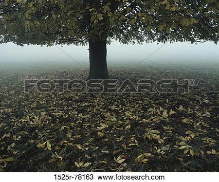 Stock Photo of tree, leaves, autumn, fog, morning, ground 1525r.