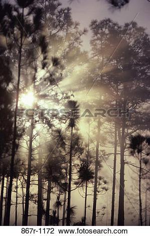Stock Photo of fog, morning, sun, pine, mist, shining, sunshine.