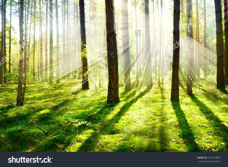 Forest Morning Fog Misty Foggy Forest Stock Photo 135313805.