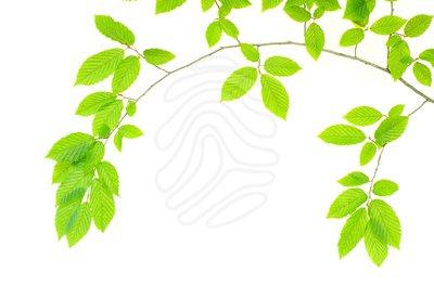 Foliage Clip Art.