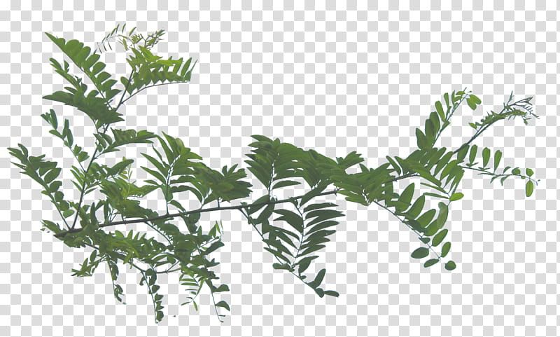 Lateral foliage , green leaves transparent background PNG clipart.