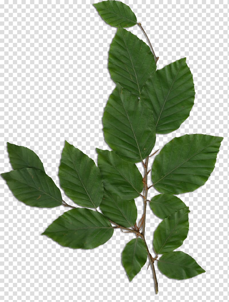 Display resolution, foliage transparent background PNG clipart.