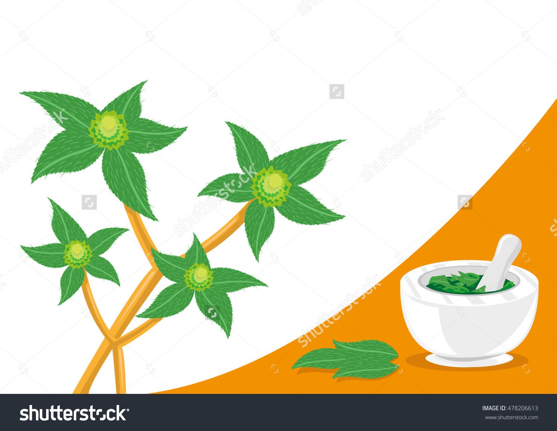 Euphorbia Hirta Tawa Tawa Plant Used Stock Vector 478206613.