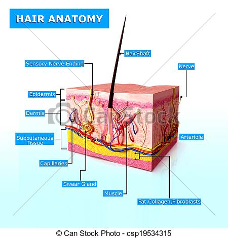 Clipart of Anatomy of human hair follicles.