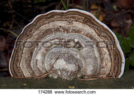 Pictures of Tinder Polypore, Hoof Fungus (Fomes fomentarius) on a.